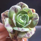 Greenovia  Rose Succulent - Little Enchantress | aplanter
