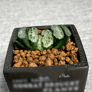 Haworthia Truncata 'R2' aplanter