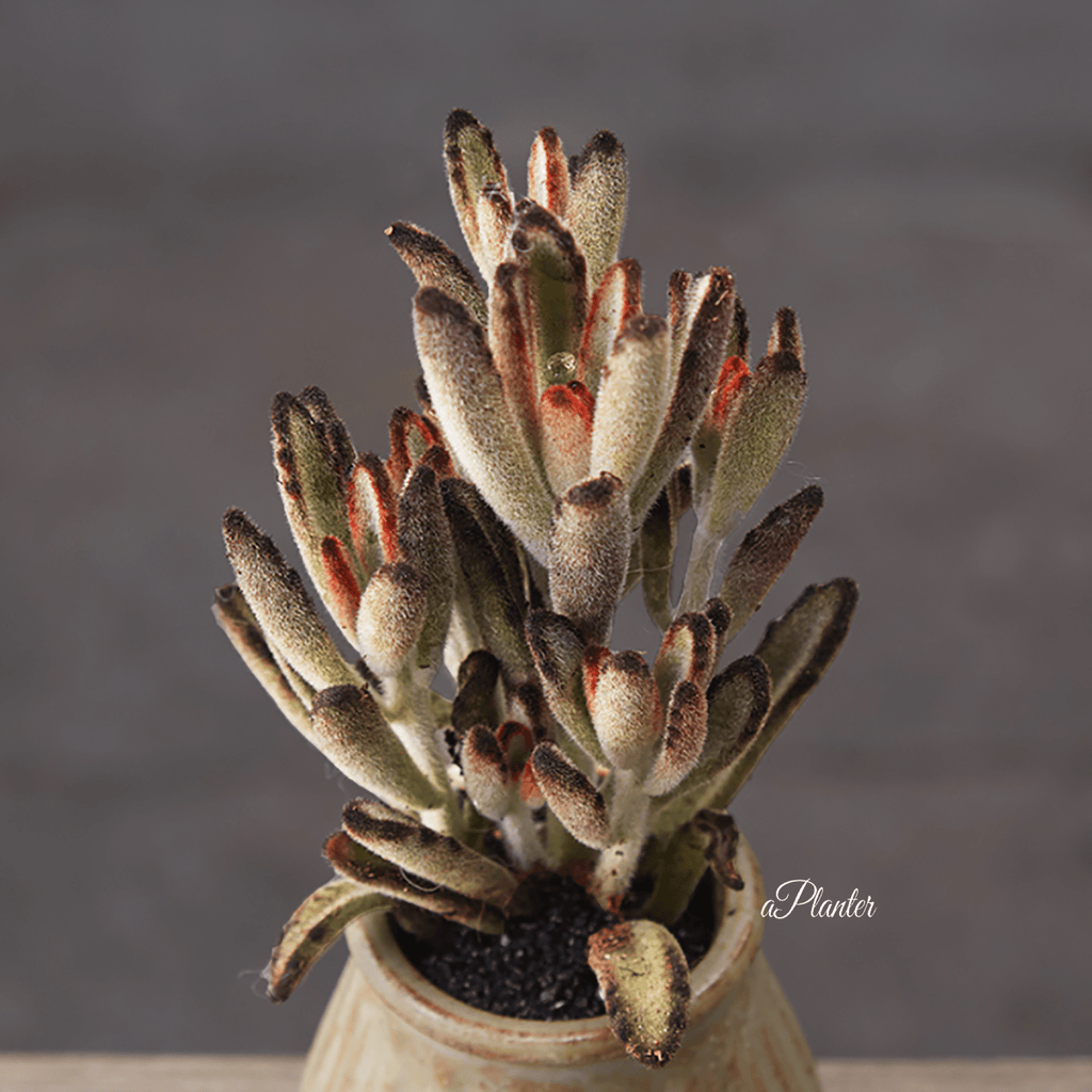 Kalanchoe Tomentosa 'Chocolate Soldier' Stalk aplanter