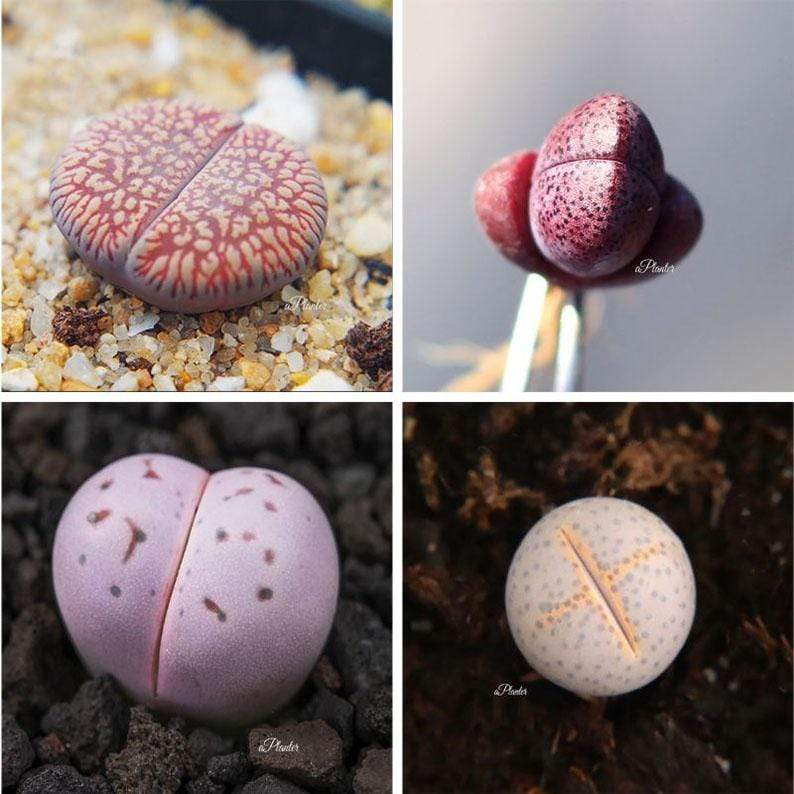 LITHOPS BUNDLE DEAL aplanter