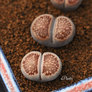 Lithops Julii Kosogyoku aplanter
