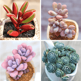 RARE SUCCULENTS SPECIAL DEAL A aplanter