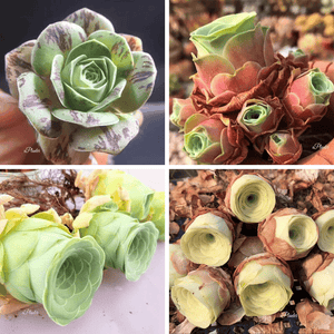 ROSE SUCCULENTS BUNDLE DEAL aplanter