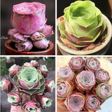 ROSE SUCCULENTS SPECIAL SALE B aplanter