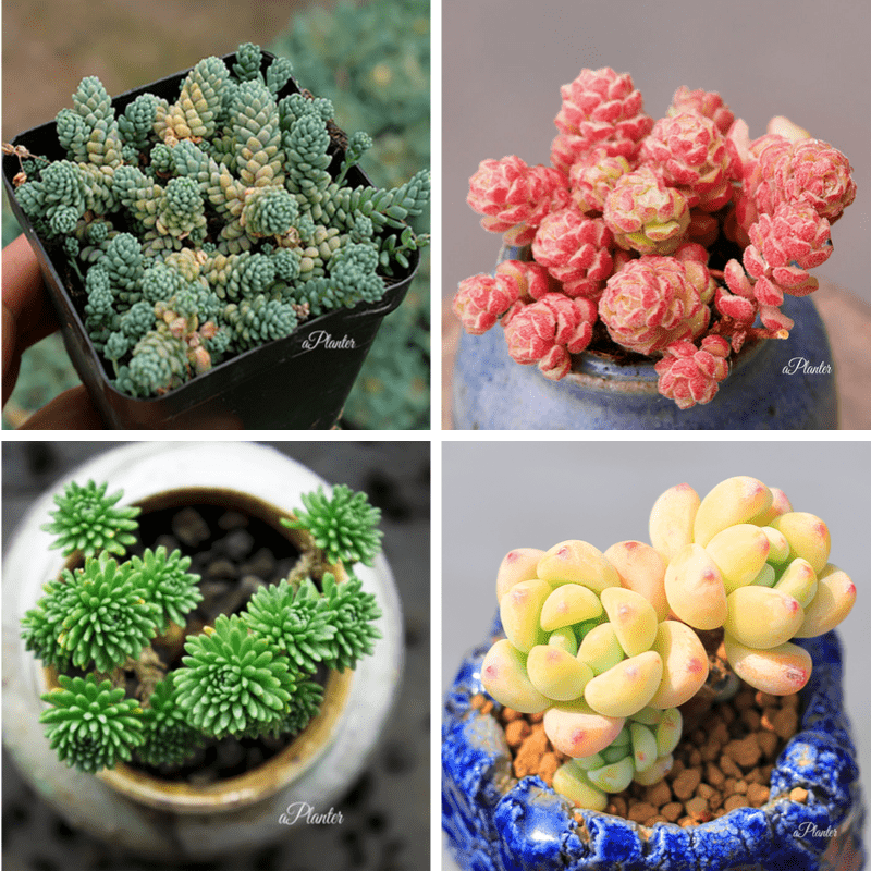 SEDUM BUNDLE DEAL aplanter