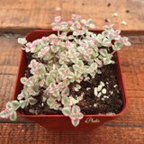 Sedum 'Little Missy' aplanter