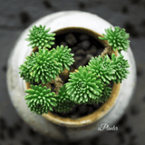 Sedum Multiceps aplanter