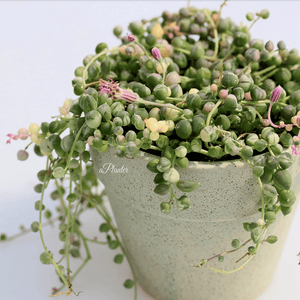 Senecio Rowleyanus String of Pearls aplanter
