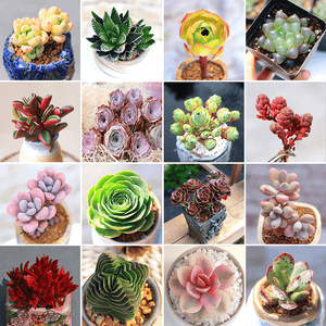 Set Of 3 Best Seller Colorful Succulents - Monthly Mystery Box aplanter
