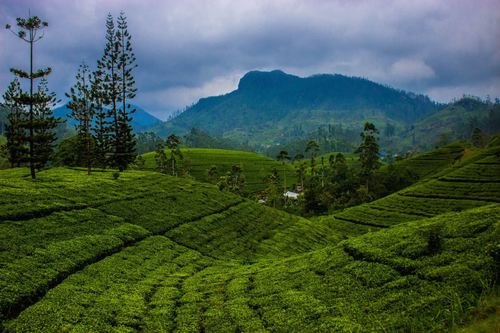 JOURNEY TO ECOLOGICAL TEA ESTATE IN MIDDLE COUNTRY - NUWARA ELIYA