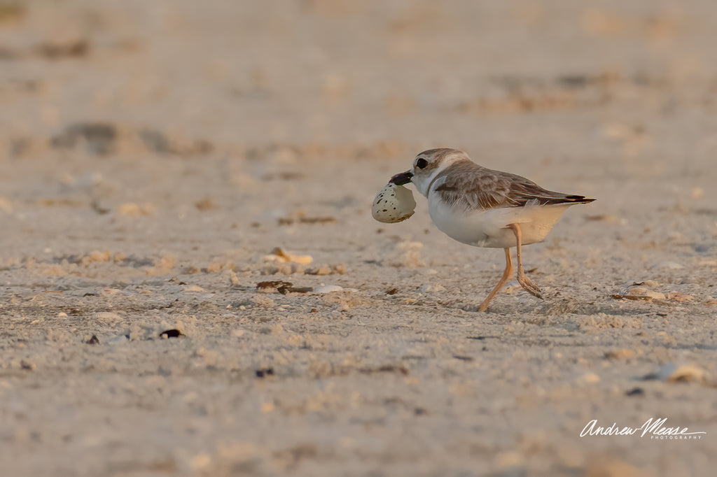 Wilsons Plover with Snowy Plover eggshell