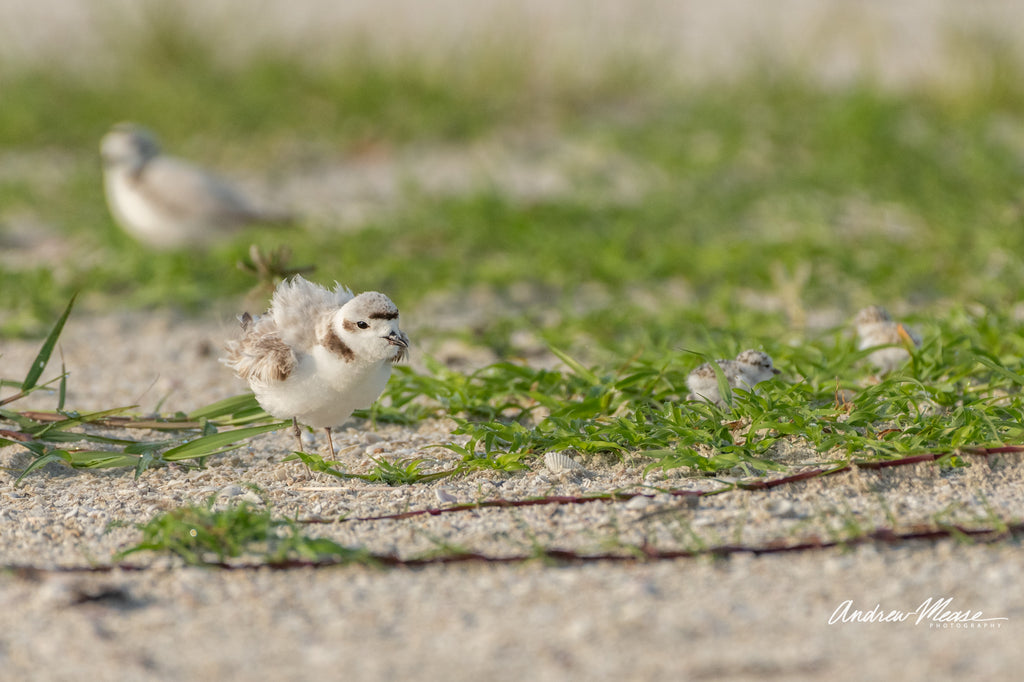 Snowy Plover family