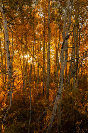 Oxbow Fall Birches