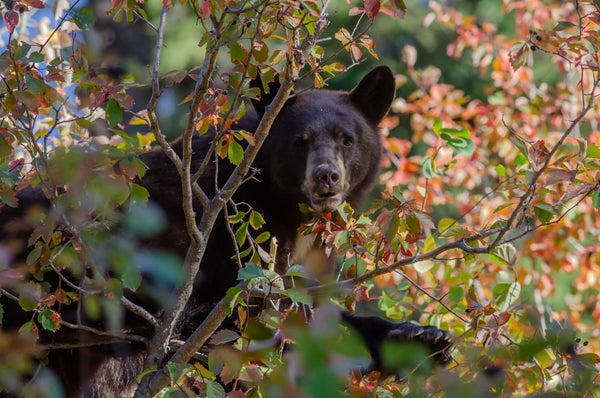 Bearly Autumn