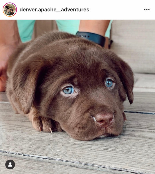 15 of the Cutest Labrador Puppy Photos that will make you forget about COVID