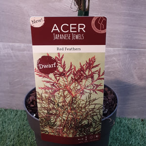 Acer Red Feather