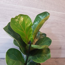 Load image into Gallery viewer, Ficus Lyrata Bambino 35cm