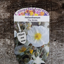 Load image into Gallery viewer, Helianthemum 'The Bride' 9cm Pot