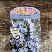 Load image into Gallery viewer, Lithospermum 'Compact Blue' 9cm Pot