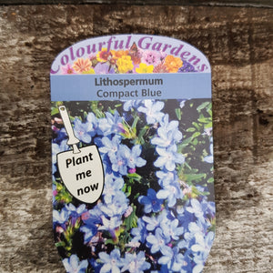 Lithospermum 'Compact Blue' 9cm Pot