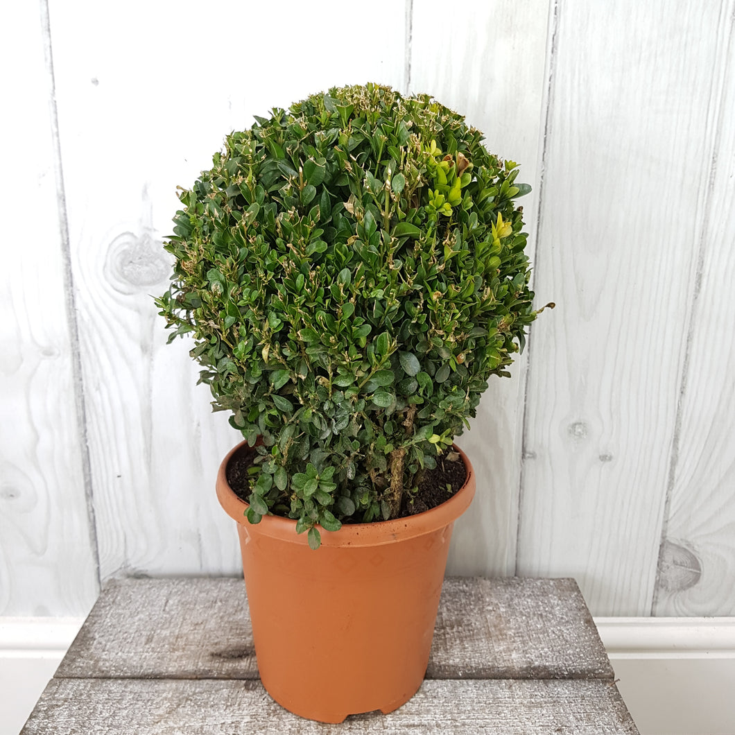Buxus Ball, height 40cm (including pot)