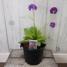 Load image into Gallery viewer, 3ltr Primula Beesiana