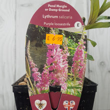 Load image into Gallery viewer, Lythrum Salicaria Purple Loosestrife