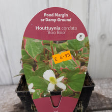 Load image into Gallery viewer, Houttuynia Cordata Boo Boo