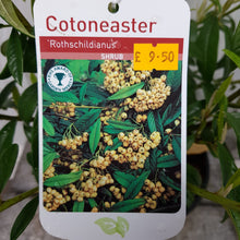 Load image into Gallery viewer, Cotoneaster Rothschildianus