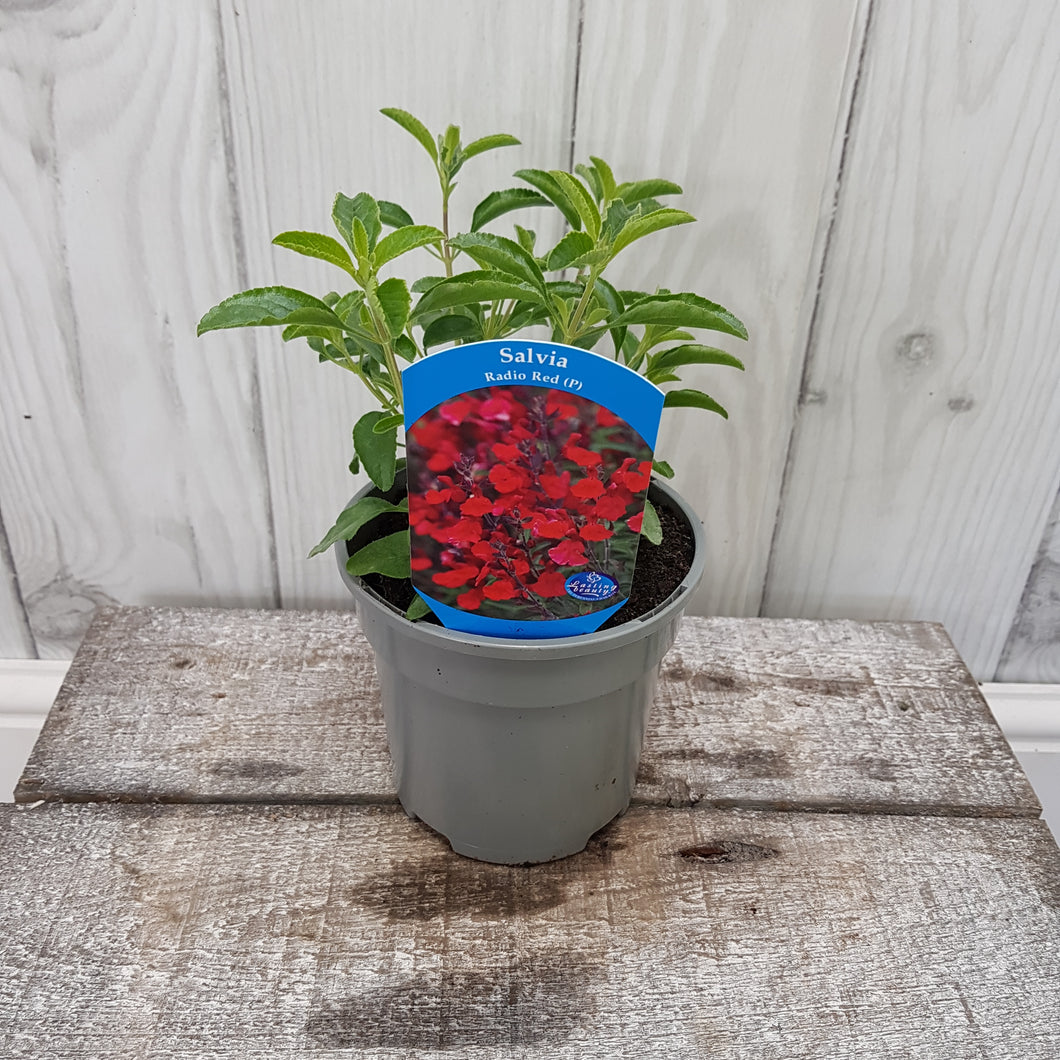 1ltr Salvia Radio Red