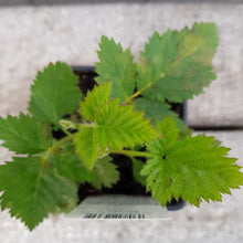 Load image into Gallery viewer, BlackBerry 'Coolaris' 13cm Pot