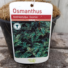 Load image into Gallery viewer, Osmanthus Hetrophyllus 'Goshiki'