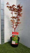 "Load image into Gallery viewer, Japanese Maple ""Sangokaku"""