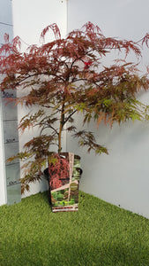 "Japanese Maple ""Orangeola"""