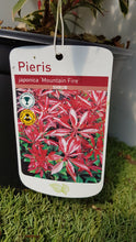"Load image into Gallery viewer, Pieris ""Mountain Fire"""
