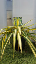"Load image into Gallery viewer, Yucca ""Filamentosa Colour Guard"""