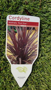 "Cordyline ""Australis Red Star"""