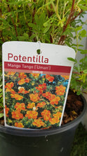 "Load image into Gallery viewer, Potentilla ""Mango Tango"""