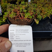 Load image into Gallery viewer, Alpine 9cm Sedum Oregano