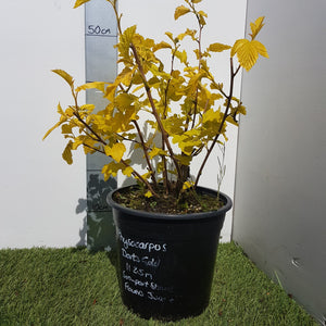 "Physocarpus ""Darts Gold"""