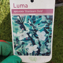 "Load image into Gallery viewer, Luma ""Apiculata Glanleam Gold"""