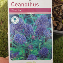 "Load image into Gallery viewer, Ceanothus ""Concha"""