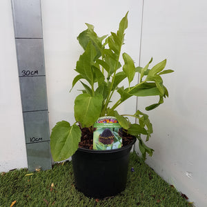 3ltr Rudbeckia 'Occidentalis Green Wizard'