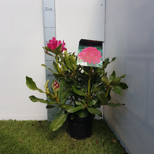 Load image into Gallery viewer, Rhododendron 'Nova Zembla'