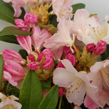 Load image into Gallery viewer, Rhododendron 'Yakushimanum Percy Wiseman'