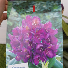 Load image into Gallery viewer, Rhododendron 'Marcel Menard'