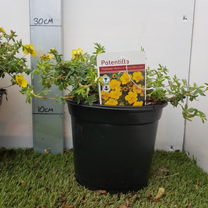 Potentilla 'Medicine-Wheel Mountain'