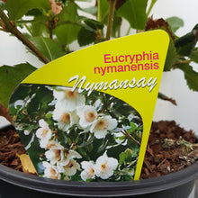Load image into Gallery viewer, Eucryphia 'Nymanensis Nymansay'