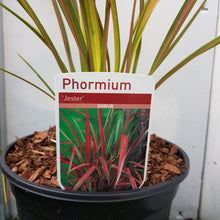 Load image into Gallery viewer, 3ltr Phormium 'Jester'