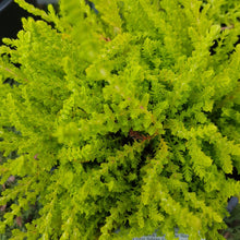 Load image into Gallery viewer, Calluna Vulgaris Wikwar Flame